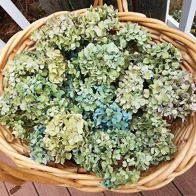 40 Dried Hydrangea Flowers Greenish Blue Lt Green Violet Lavender Green Crafts