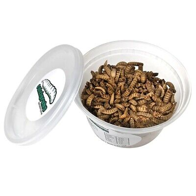 Live Feeder Black Soldier Fly Larvae - 1000 Small Calcigrubs™