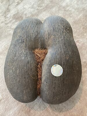 Coco de Mer Seychelles double nut rare exotic natural seed decor