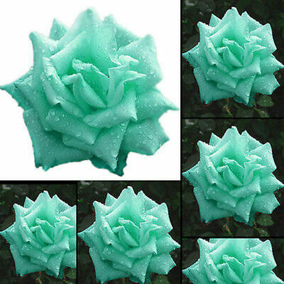 green green Rose Flower Seeds for Wedding Plant Outdoor Bulbs for Bride Groom