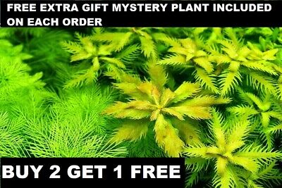 Proserpinaca Palustris Bunch Mermaid Weed Live Aquarium Plants BUY2GET1FREE