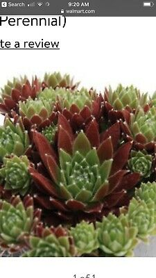 Appletini Chick Charm Sempervivum Hen And  Chick Plant sZone 3 To 9 Ready