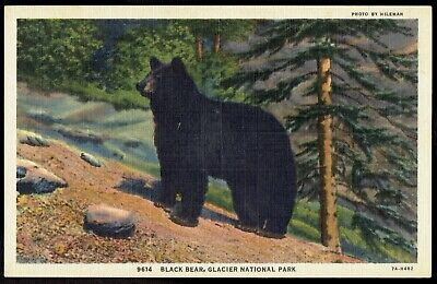 Black Bear Glacier National Park Vintage unused Linen Postcard pc298a