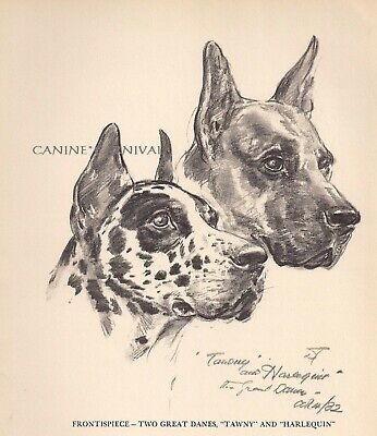 GREAT DANE HEAD STUDY HARLEQUIN & TAWNY Vintage Dog Print 1950 Diana Thorne