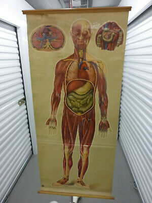 Vintage/Antique 1940s full size anatomical medical chart by J. Teck