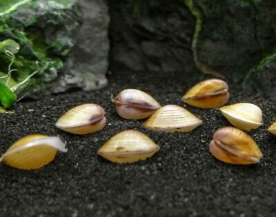 5+ Freshwater Clam Pond Aquarium Mussels Filter [Buy 2 get 1 free!] Captive Bred