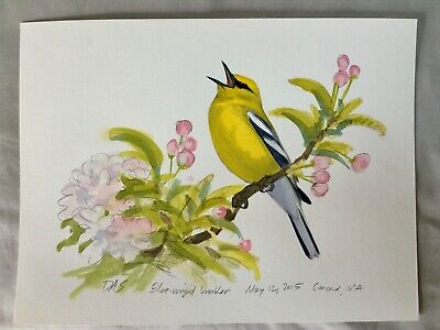Original Bird Art Painting by David Sibley, Adult Blue Winged Warbler, Signed.