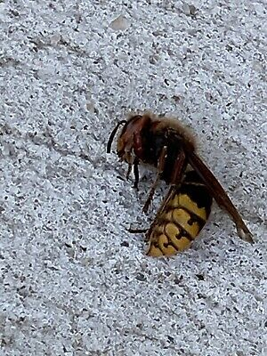 Murder Hornet WASP Real Insect Found In Bronx, NY. Msg For Videos