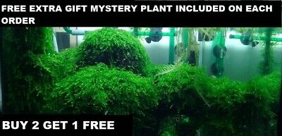 BUY 2 GET 1 FREE Live Aquarium Plant Aquatic Plants Java Moss planted tank fish