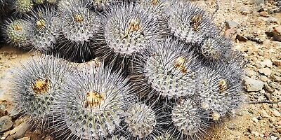 fresh from Chile 50 SEEDS of MIQUELOPUNTIA MIQUELII south of Freirina