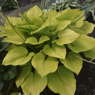 Hosta Plant White Feather Buy Any Five Hostas And Get Free One Shipping Now