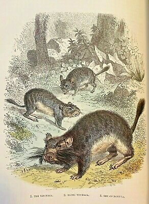 RARE INCREDIBLE Chinchilla RODENT ENGRAVING 1880 ART VINTAGE OVER 140 YRS OLD