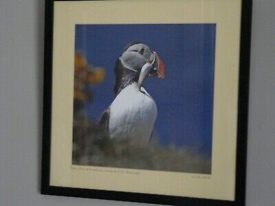 Abeautiful Nic Davies Puffin Of Lunga Island In Treshnish Islands Framed Print