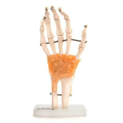 66fit™ Anatomical Human Hand Joint With Ligaments - Medical Training Aid