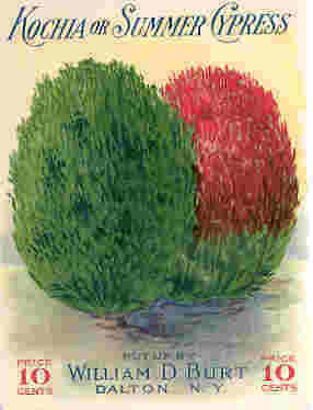 BURT UNUSED LARGE SEED PACKET SUMMER CYPRESS 1915