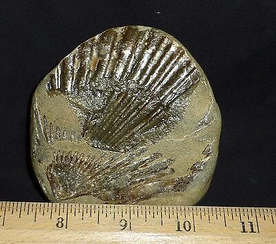Fossils-Molluscs:  Nice Example Of A Scallop Fossil
