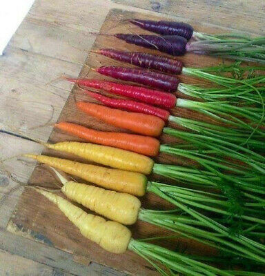 CARROT 'Heirloom Mix' 50 seeds RARE vegetable garden purple red yellow orange