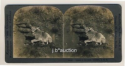 Colorado USA COYOTE IN THE TRAP * Vintage 1900s KEYSTONE Stereo Photo