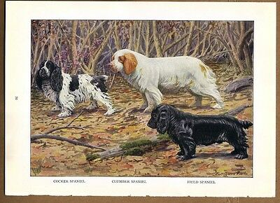 SPANIELS: COCKER - CLUMBER -  FIELD Dog Print by Fuertes 1927