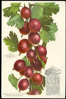 Color Plat - Geo. S. Josselyn Large Red Gooseberry Red Jacket, Fredonia, NY 1891