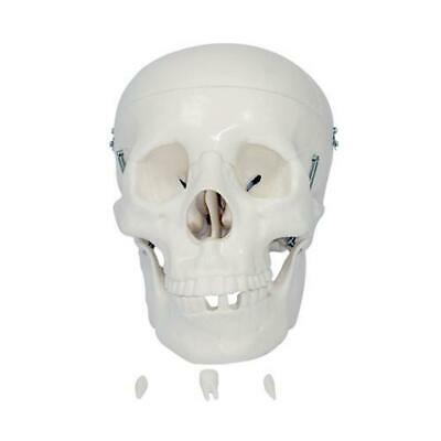 66fit Anatomical Life Size Human Skull - Medical Training Aid