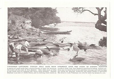 KAIPARA HARBOUR WHALE FISHERMEN New Zealand Photograph Picture Print 1926