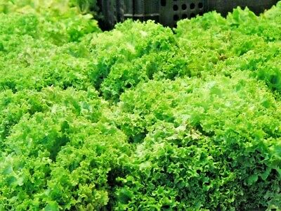 ENDIVE 150 seeds UNUSUAL vegetable seeds garden WINTER HARDY SALAD GREEN