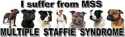 """""""I Suffer from MULTIPLE  STAFFIE  SYNDROME"""" Dog Car Sticker by Starprint"""