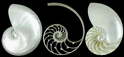 "Triple Cut Pearl Nautilus Shell - 5-6""  Beach Decor Nautical Seashell"