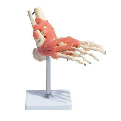 66fit Anatomical Foot Joint With Ligaments - Medical Training Aid