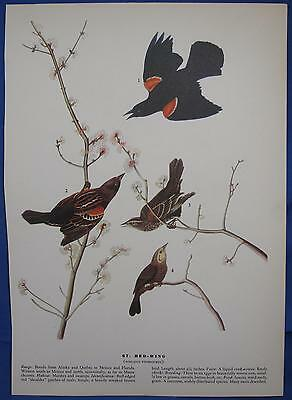 Red Wing Cliff Swallow Audubon Birds of America 1942 Lithograph Color Print