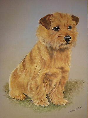 "Sale - Norfolk Terrier - By Brian Hupfield Dog Print 12 X 16"" - Greatly Reduced"