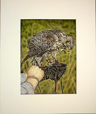 """Young Goshawk Falcon Falconry Janet Anne Carden Giclee Print Mounted 12 X 10"""""""