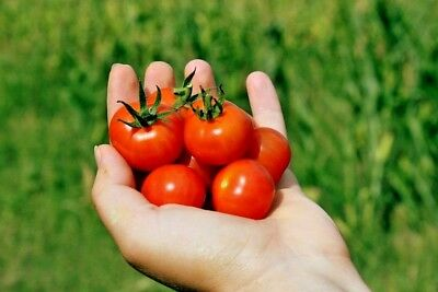 TOMATO 'Tomme Toe' 30+ ORGANIC seeds VOTED BEST TASTING cherry vegetable garden