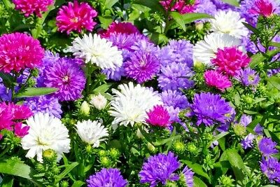 ASTER 'Giant Mix' 60+ seeds LARGE flower garden GOOD CUT FLOWER mixed chinese