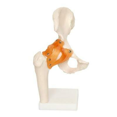 66fit Anatomical Human Hip Joint - Medical Training Aid