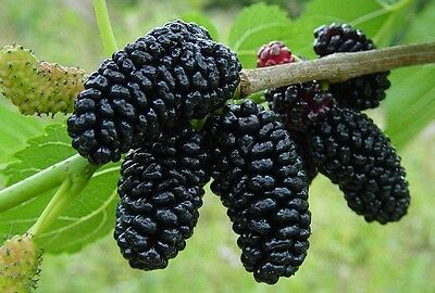 """(2)""""Sweet Black Berry  Mulberry Tree"""" Nice 6-8 Inch Unrooted Cuttings"""