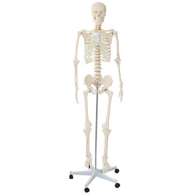 Lifesize Anatomical Human Skeleton Model Brand New Item