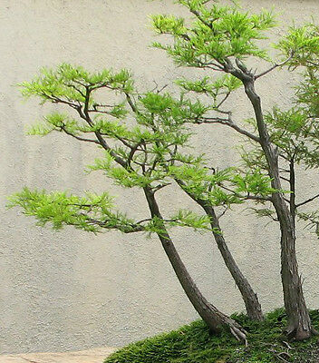 """Japanese Bonsai Plant """"Bald Cypress""""  1-2' Tall Potted Plant"""