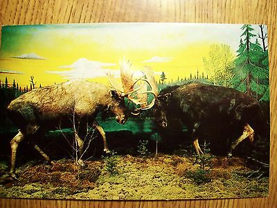 FIGHTING MOOSE @ THE CALL OF THE WILD MUSEUM, GAYLORD, MICHIGAN, CHROME POSTCARD