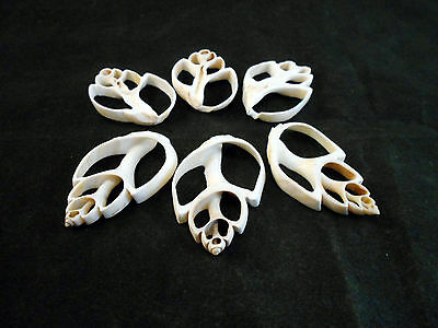 "6 Center Cut White Babylonia Shells Craft 1 1/2""-2"" Beach Nautical Seashells"