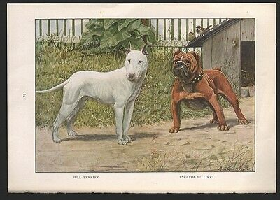 ENGLISH BULLDOG and BULL TERRIER  Dog Print by Fuertes 1927