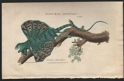 Flying Dragon Draco Lizard Asia 1813  Colored Engraving