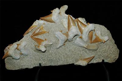 Otodus Obliquus Fossil Shark Tooth On Natural Matrix With Stand -Morocco #ot3