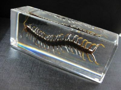 Real Centipede Insect Specimen in clear medium Lucite Paperweight DECORATION