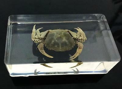 Real Yellow Crab Specimens In Lucite Paperweight/Collection