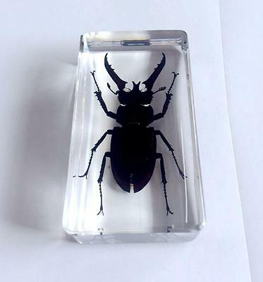 Real Black Lucanus Insect Specimens In Lucite Paperweight Collection
