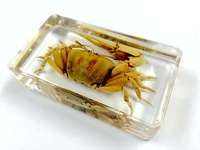 Real Fiddler Crab Insect/Crustacean Specimen Paperweight Taxidermy Collection