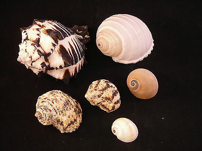 "6 Hermit Crab Shells Graduating size from 1""-4"" (3/4""-2"" opening) Med-Large Crab"