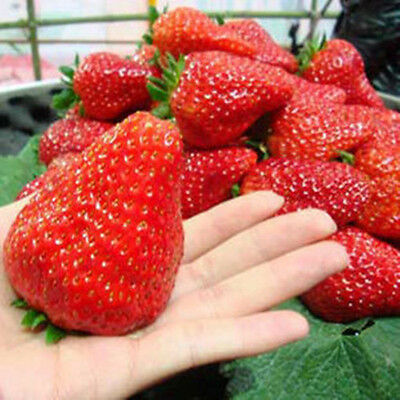 red strawberry 100pcs Climbing strawberry four season fruits seeds